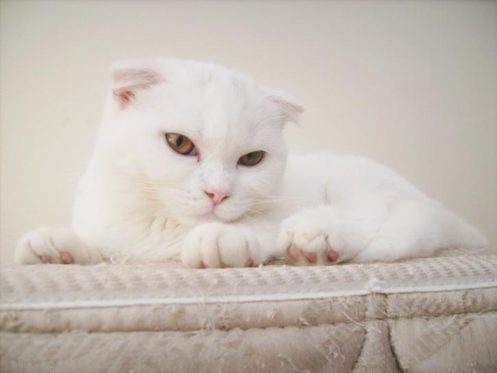 Scottish Fold: o gatinho da orelha dobrada!