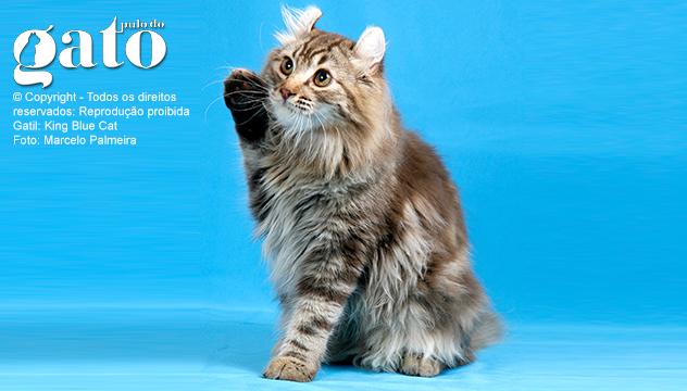 American Curl: O gato com design