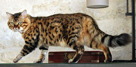 O exuberante gato Bengal Longhair