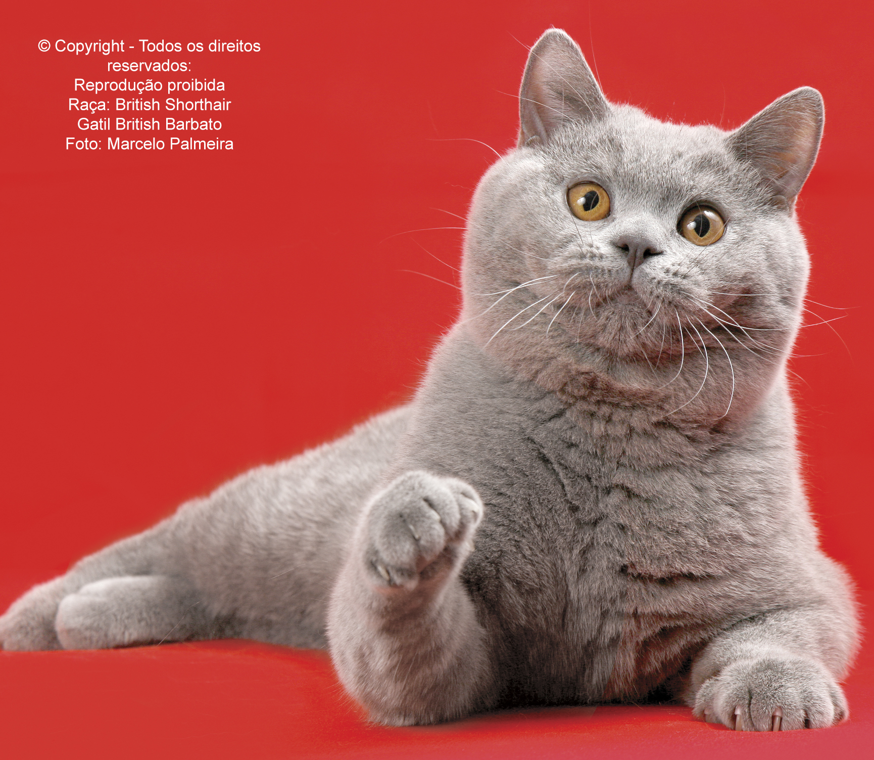 Os encantos do British Shorthair