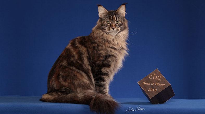 Maine Coon: como é ter um gatão desses em casa?