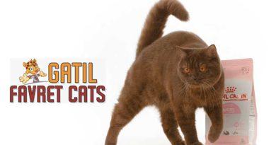 Favret Cats e sua dedicação ao Bengal e British